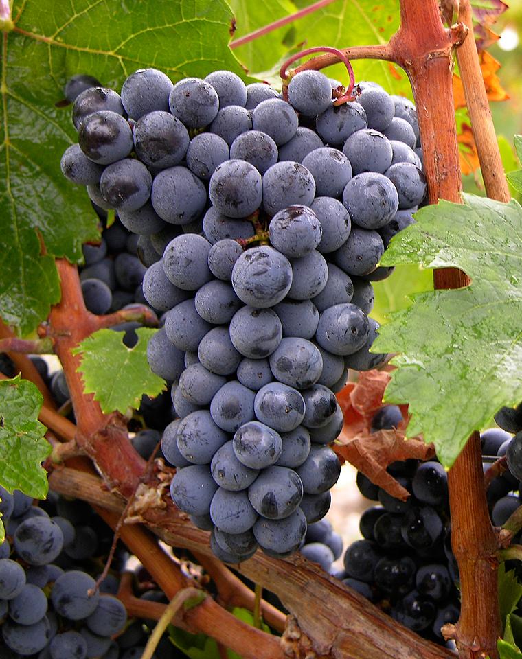 Cabernet Franc là gì? Tìm hiểu rượu vang Cabernet Franc