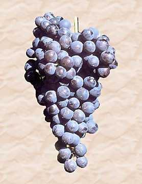 Giống nho Nebbiolo và rượu vang Nebbiolo